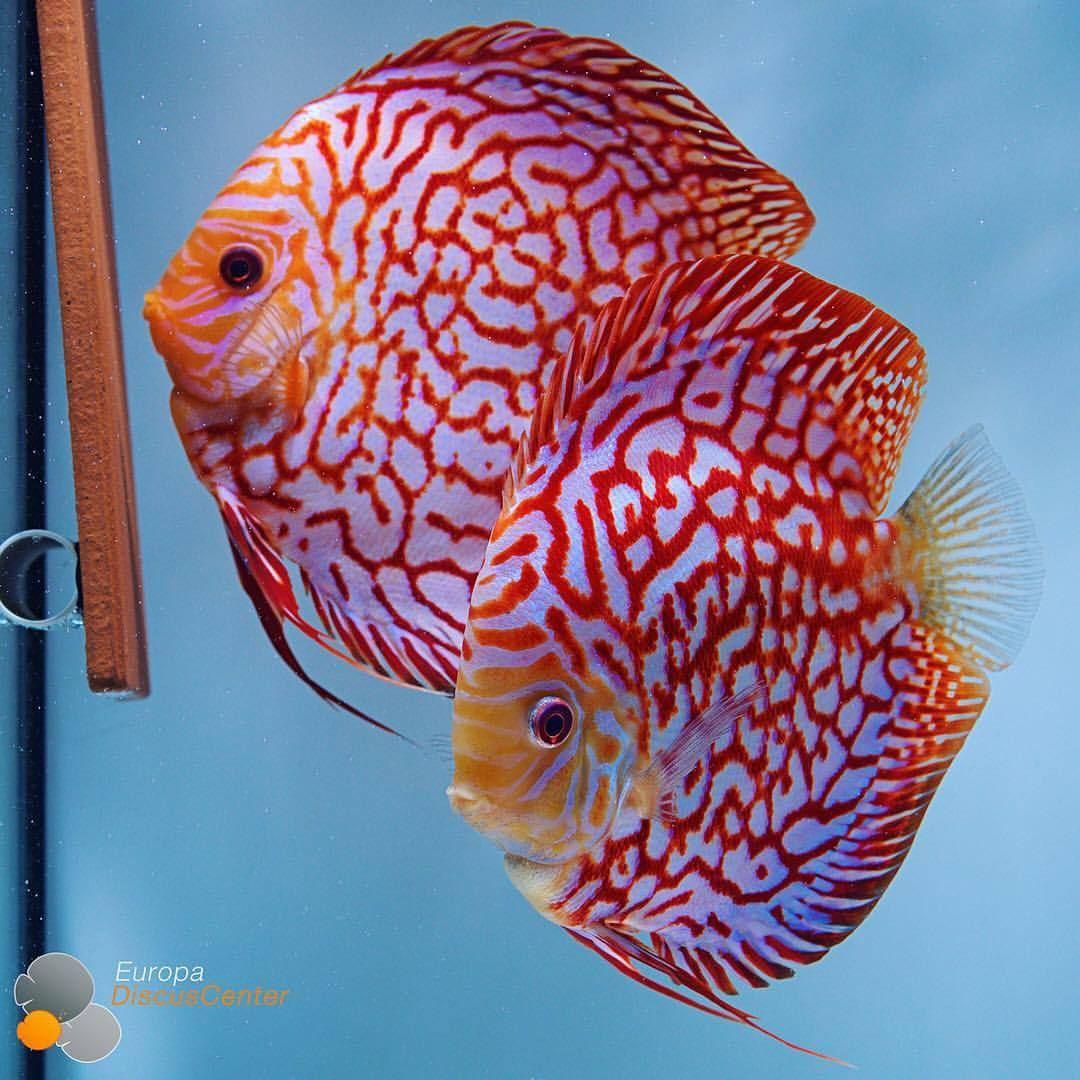 Checkerboard Red Map Discus Breeding Pair Discus Diskus Diskusfische Aquarium Symphysodon Tropicalfish Discus Fish Tropical Freshwater Fish Discus