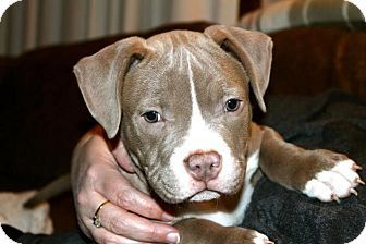Pin By Aj Lee On Animals In Need Pitbull Terrier Bull Terrier