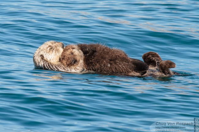 Sea otter mother holds her pup close - January 25, 2014
