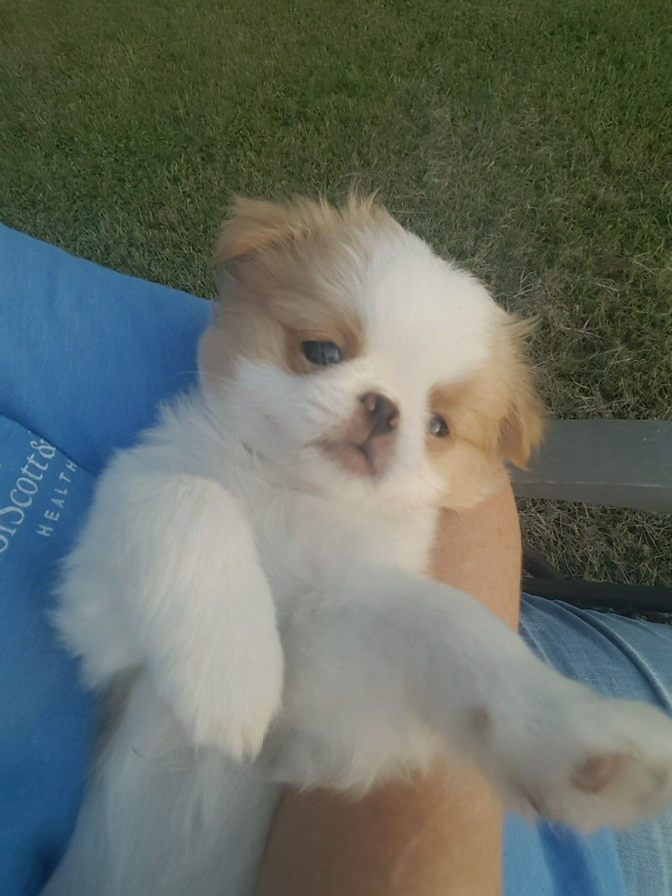 Lemon And White Japanese Chin Puppy Walker S Chins Japanese Chin
