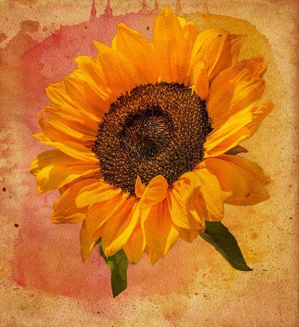 die besten 25 colorful sunflower tattoo ideen auf pinterest erstes tattoo sonnenblumen. Black Bedroom Furniture Sets. Home Design Ideas