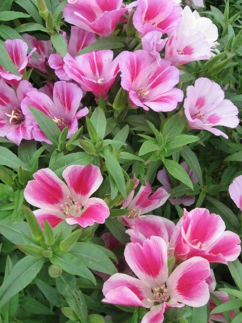 Pin On Heirloom Plants
