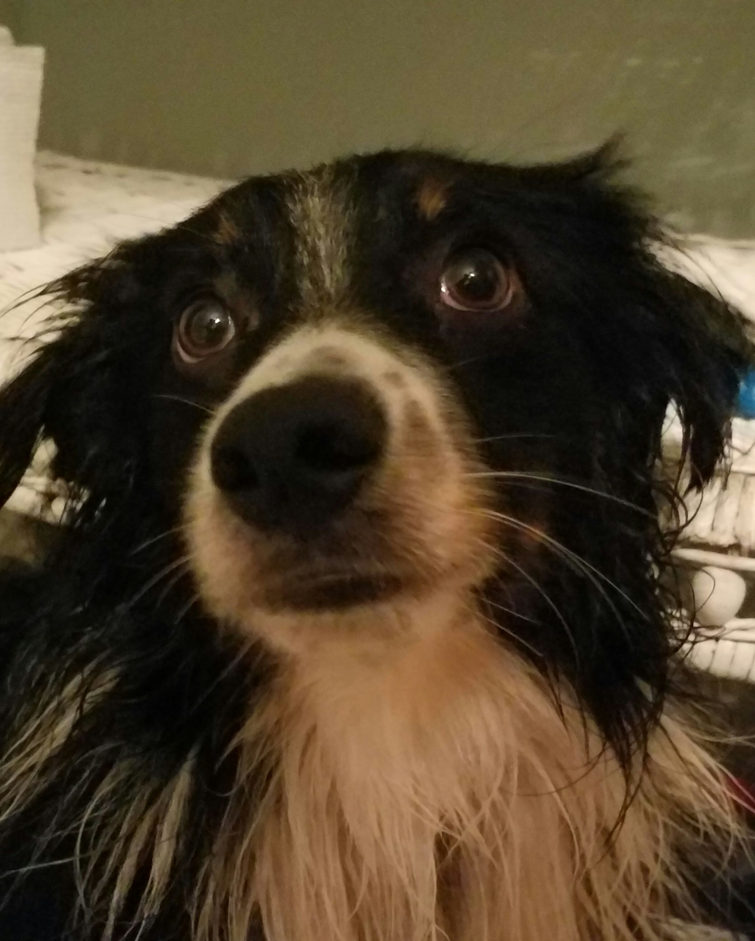Australian Shepherd dog for Adoption in St. Louis Park, MN. ADN-510858 on PuppyFinder.com Gender: Male. Age: