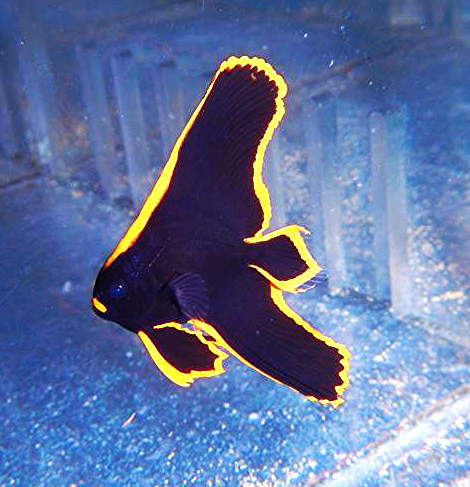 Pinnatus Batfish Captive Bred Saltwater Fish Batfish Batfish Home Aquarium Saltwater