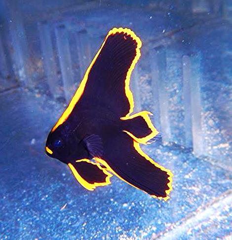 Pinnatus Batfish Captive Bred Saltwater Fish Batfish Batfish Home Aquarium Saltwater