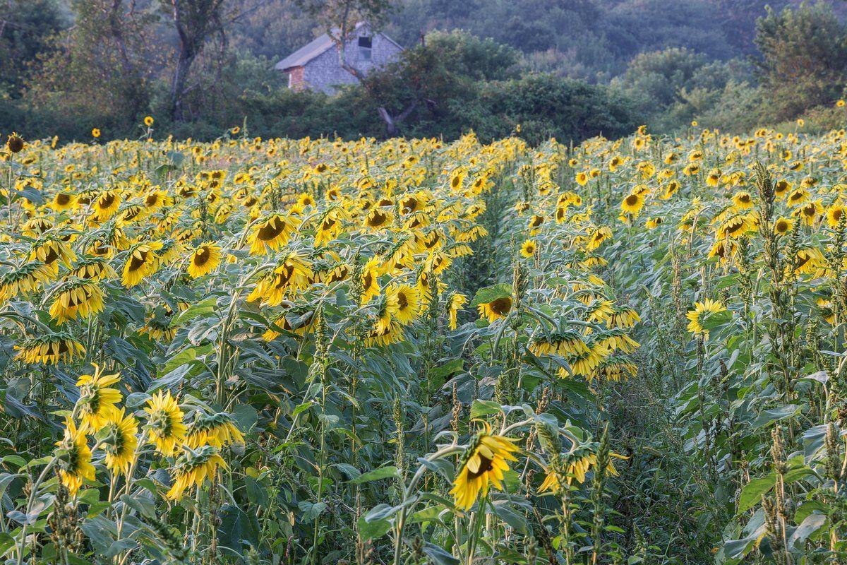 Sunflower Field in Westport, MA Sunflower fields