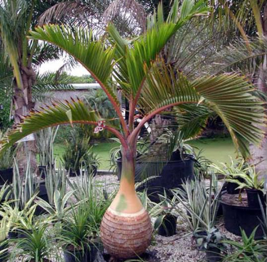 Bottle Palm Palm Trees Landscaping Tropical Landscaping Plants