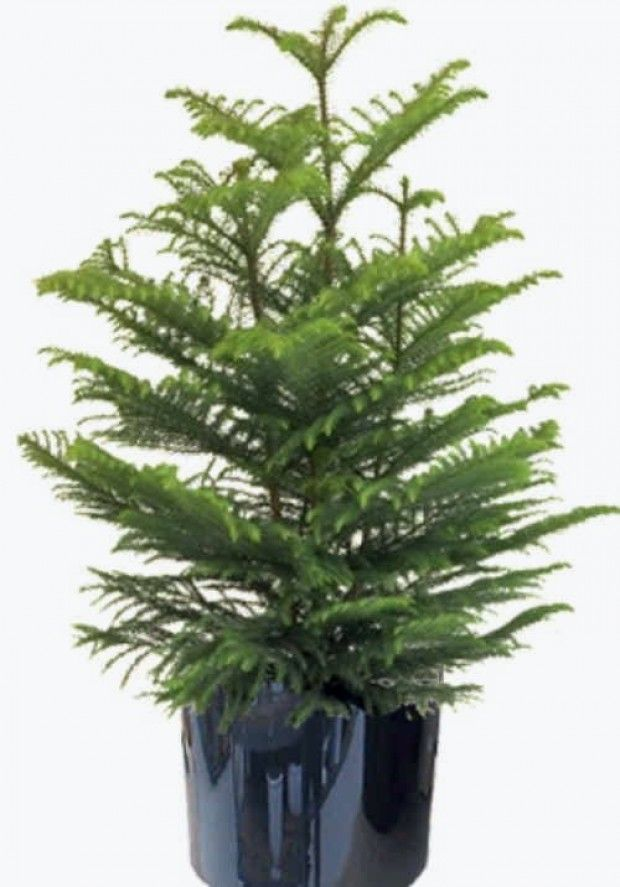 norfolk pine tree can bunched pine trees be separated. Black Bedroom Furniture Sets. Home Design Ideas