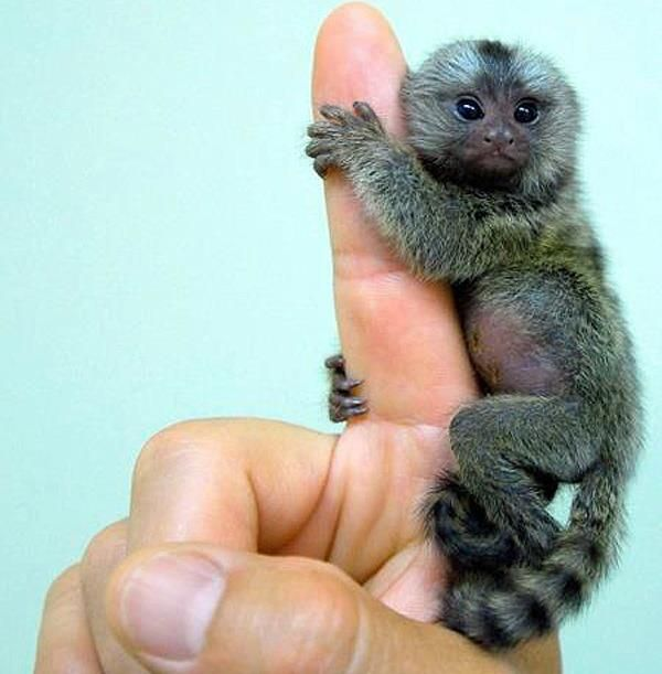 Pygmy Marmoset are the World's smallest monkeys! These tiny primates are about the size of a human finger!