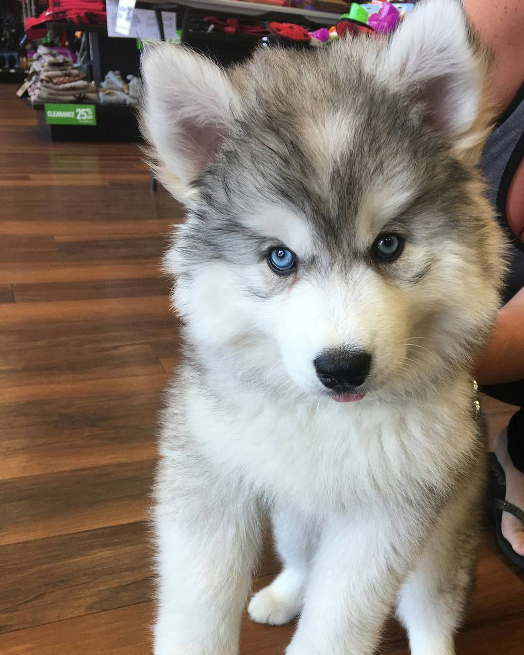 Cutecustomeralert Lily An 8 Week Old Husky Puppy Stopped By For Her First Visit To Pet Valu Glassboro Nj Pet Valu Pets Puppies Husky Puppy