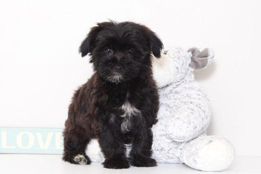 Yorkie Poo Puppy For Sale In Naples Fl Adn 40654 On Puppyfinder Com Gender Female Age 9 Weeks Old Yorkie Poo Yorkie Poo Puppies Puppies For Sale