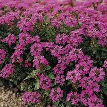 Verbena Seed Rose Verbena Ground Cover Seeds Ground Cover Seeds Ground Cover Full Shade Plants