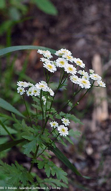 Feverfew Tanacetum Parthenium Herbal Living Feverfew Plant Feverfew Blooming Flowers