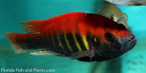 P Nyererei Juma Island Red 1 5 Inch African Cichlid Live Fish African Cichlids Cichlids African Cichlid Tank