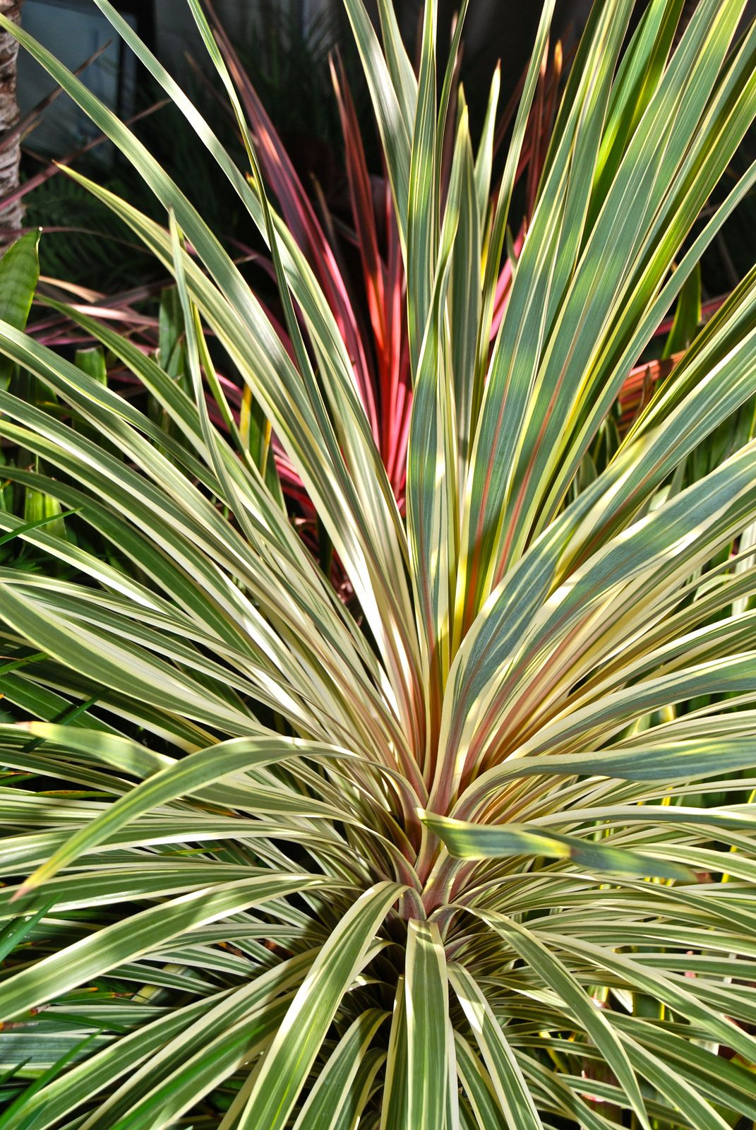 cordyline australis variegata flickr photo sharing amazing plants pinterest photos. Black Bedroom Furniture Sets. Home Design Ideas