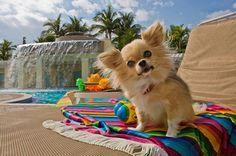 Long Haired Chihuahuas Need Love too!