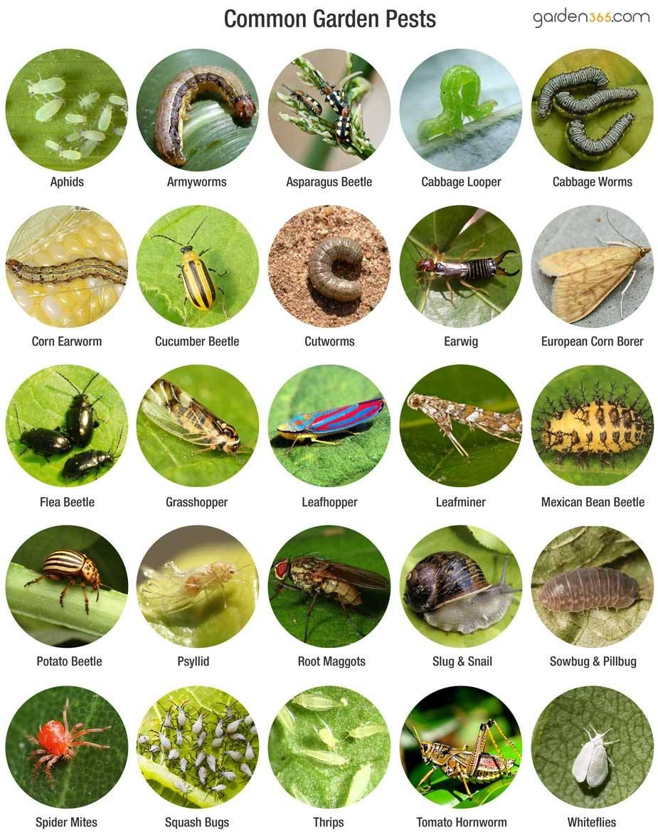 The Top 7 Garden Pests What Worked And Didn T Some Good 400 x 300