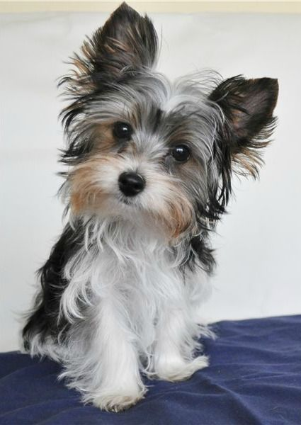 Will you play with me Yorkshire terrier puppies, Biewer