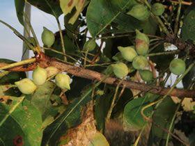 gubinge jam ice cream Kakadu Plum, Billygoat Plum an Australian Native Bush Food