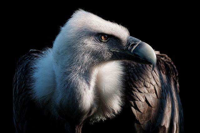 Griffon Vulture | Flickr - Photo Sharing!