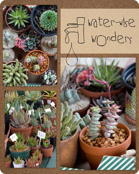 Succulents are great for our hot summers - and most over winter inside with plenty of sun and kept from drafts