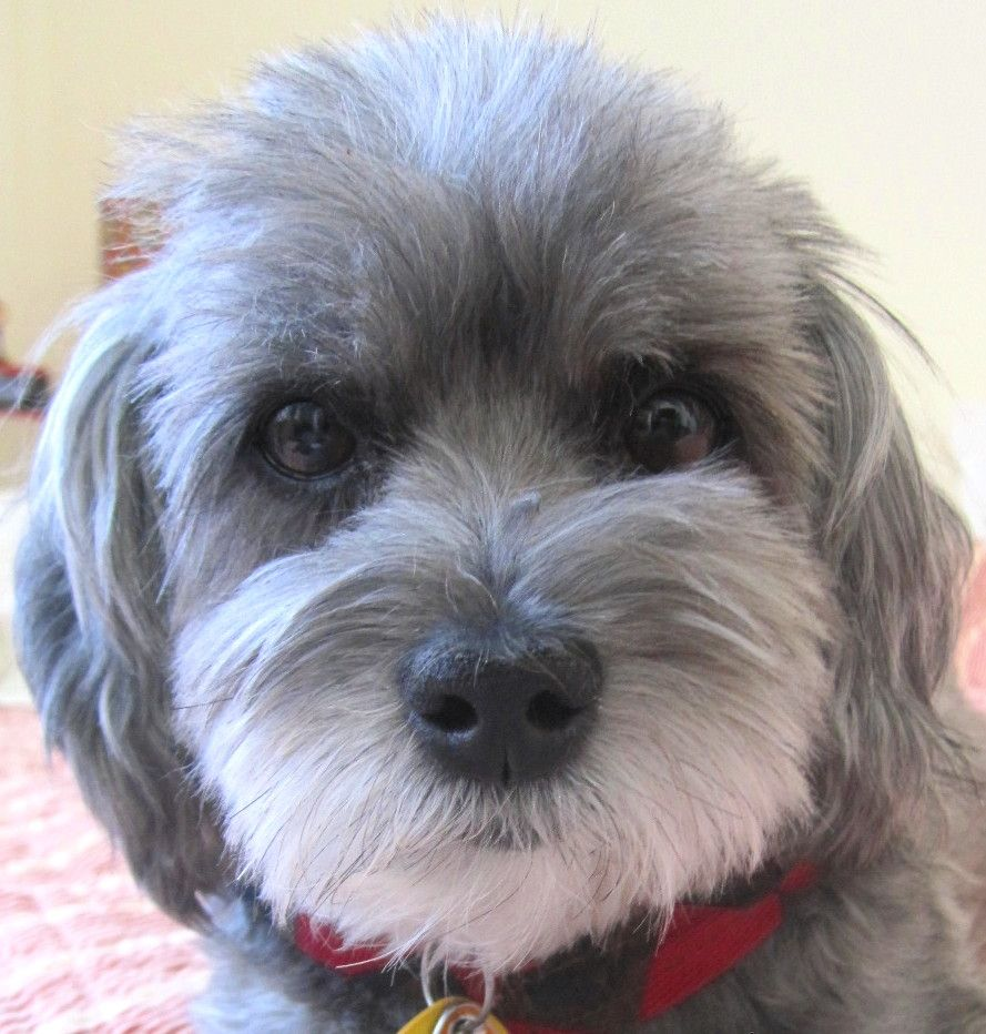 Bailey a mix of yorkie, maltese and poodle. Such a good boy!