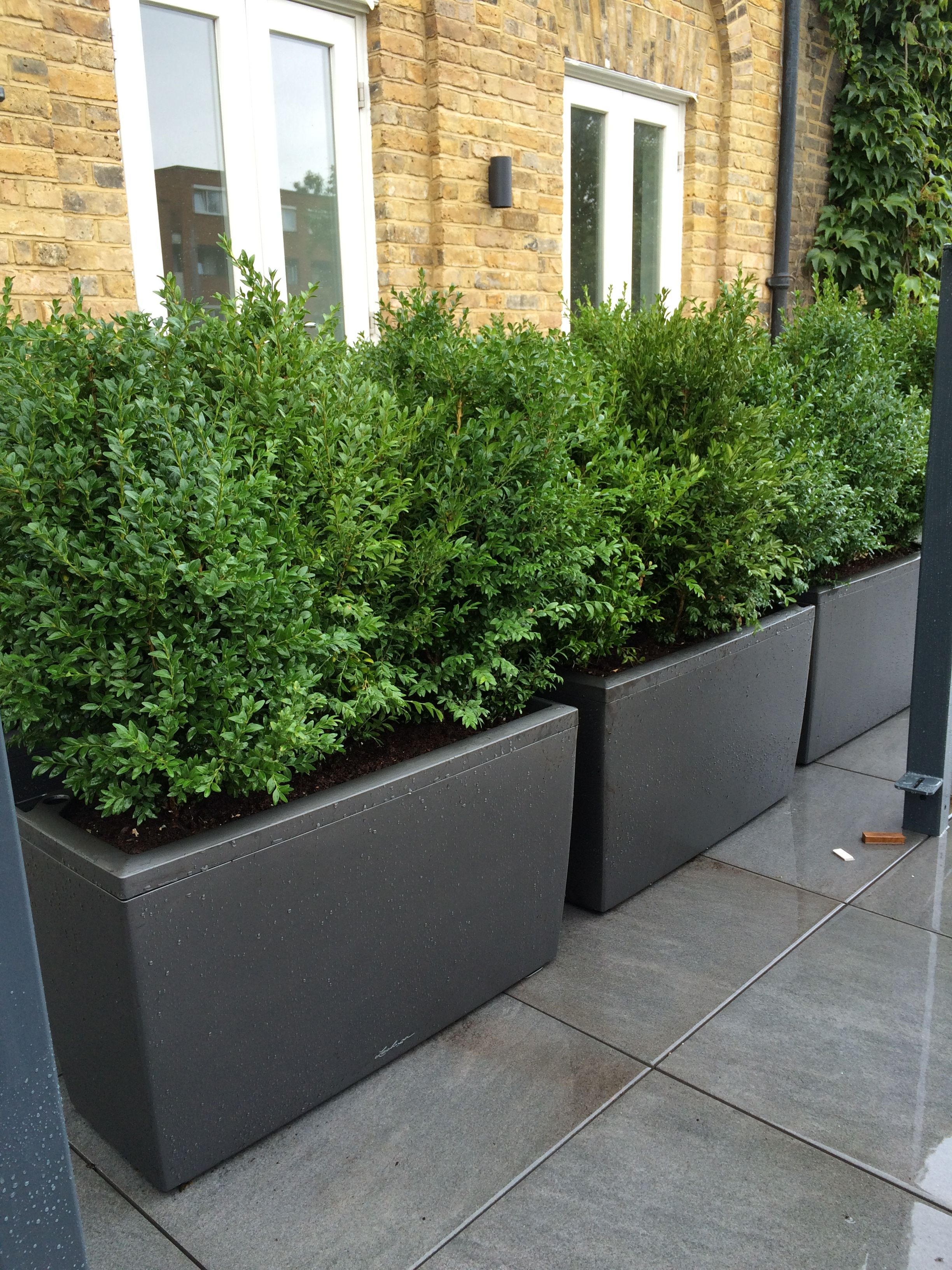 Natural buxus planted in barrier planters to create for Large outdoor privacy screen