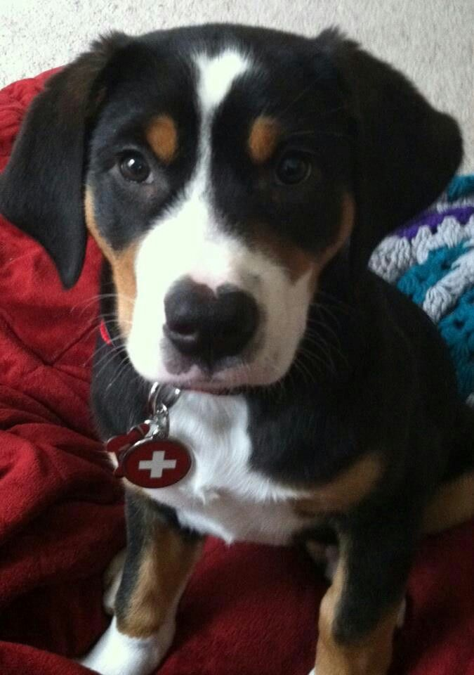 Greater Swiss Mountain Dog. Cherished Swissies