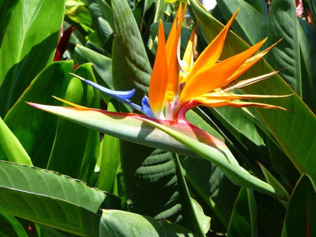 Pin By Nancy Schretter On Molokai Birds Of Paradise Flower Birds Of Paradise Beautiful Birds