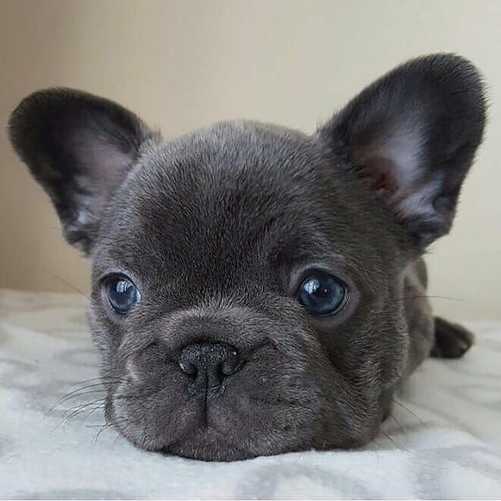Visit Our Blog For More Cute Dogs Bulldog Puppies Cute French Bulldog