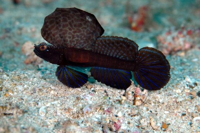 black sailfin blenny salt water aquarium marine fish reef