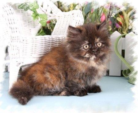 Tortie Kittens For Sale Tortie Kitten Cats Kittens Persian