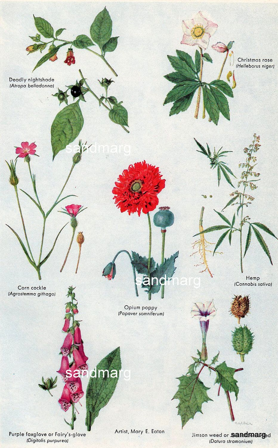 The spice doc edible and medicinal flowers - 1927 Opium Poppy And Other Medicinal Plants Edible Plants