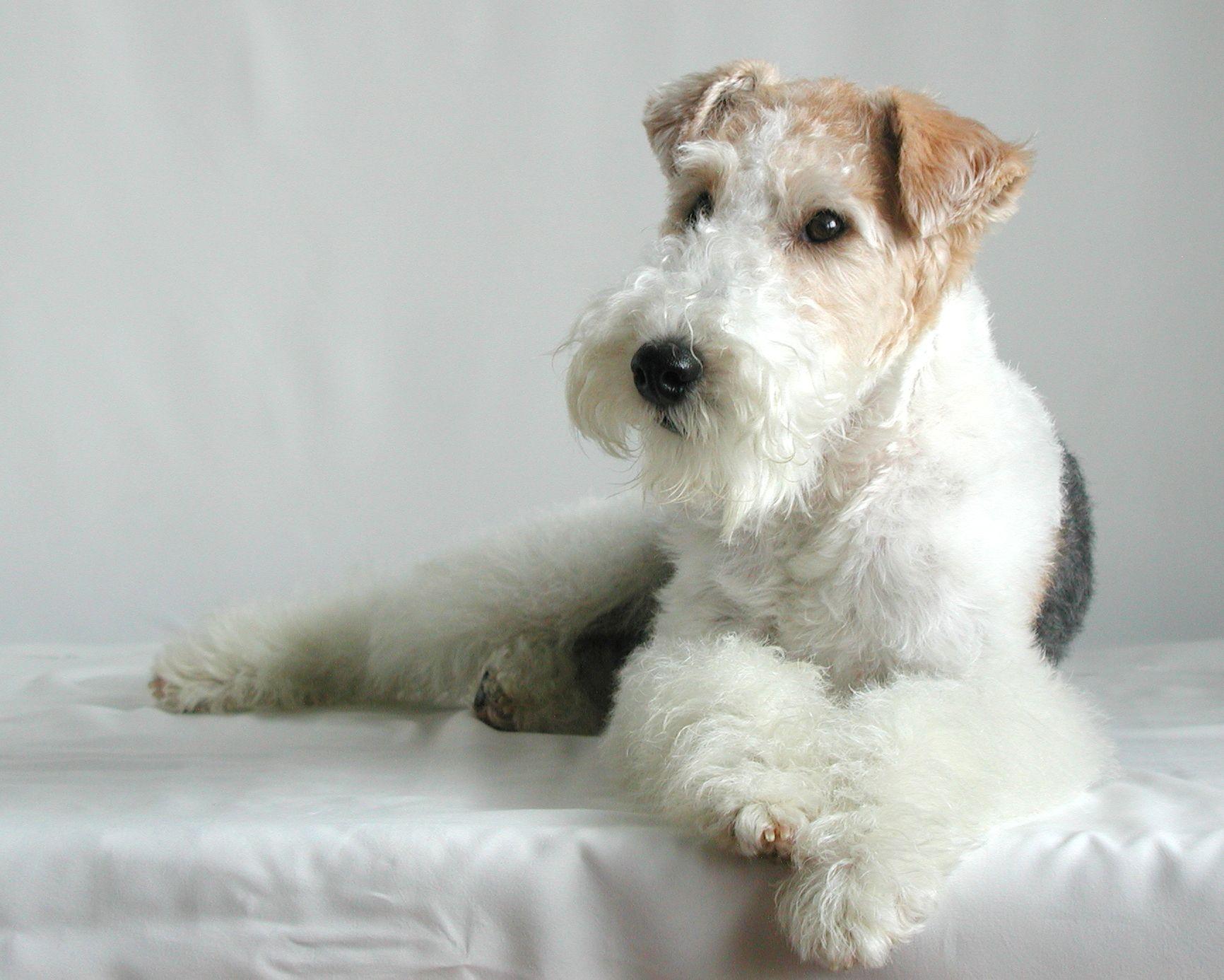 wire fox terrier \