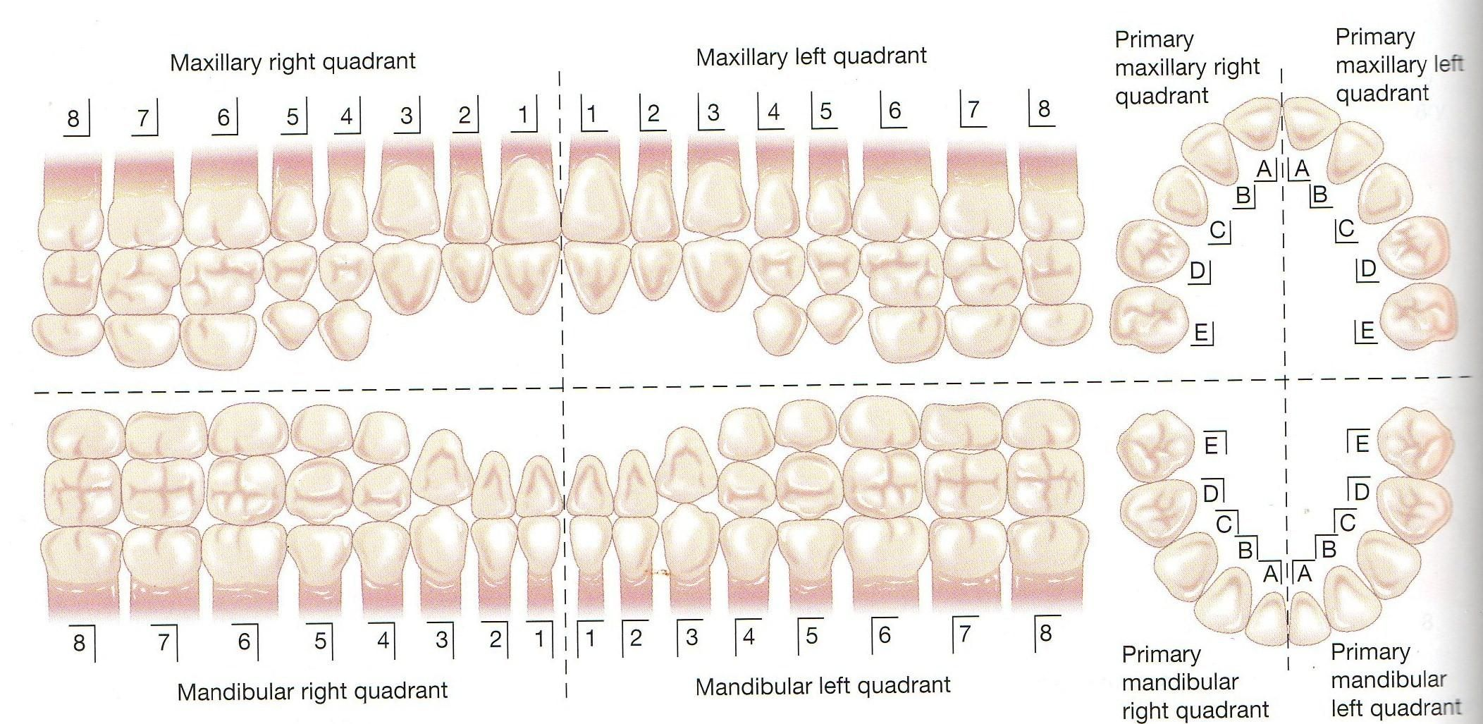 diagram of teeth and their numbers opel astra j wiring diagrams primary dentition palmer numbering system dental