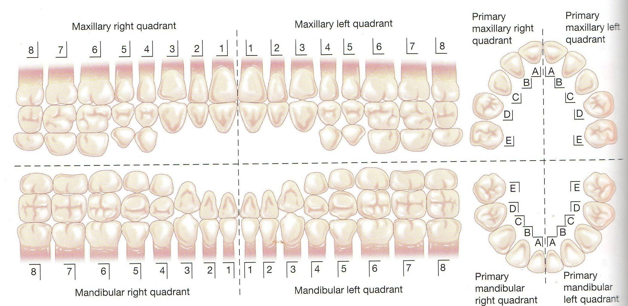 primary dentition palmer | Numbering System | Dental Assisting ...
