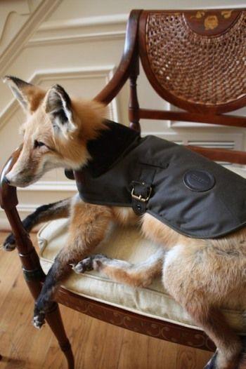 barbour new wax dog coat