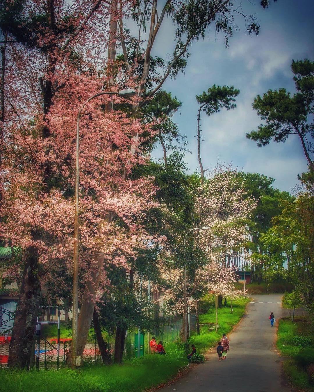Shillong S International Cherry Blossom Festival Pics Are More Breathtaking Than The Delhi Smog Northeast India Cherry Blossom Festival Shillong