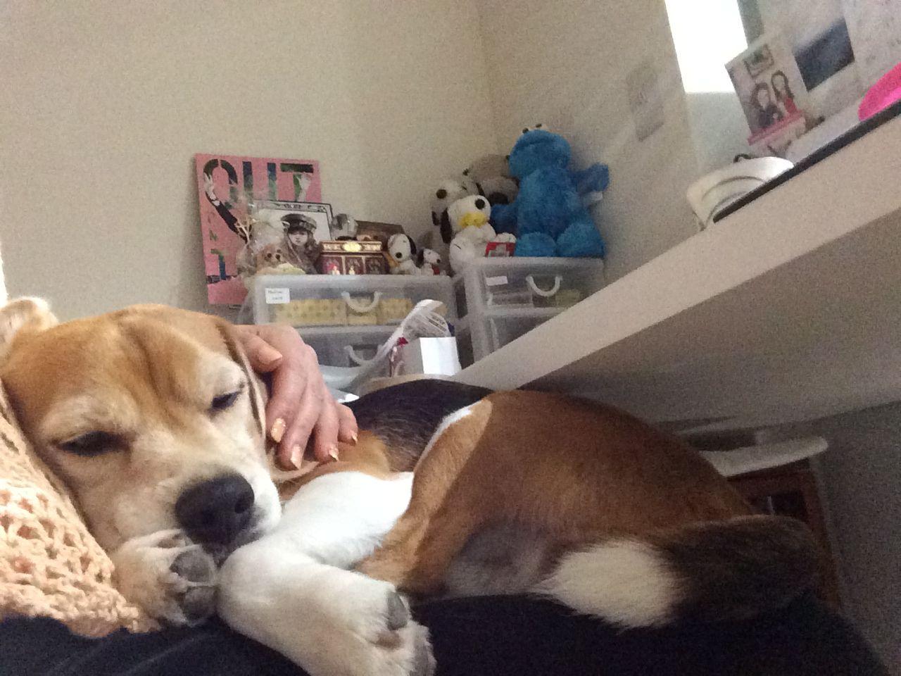 sleeping on Mom's lap Beagle dog, Beagle art, Beagle