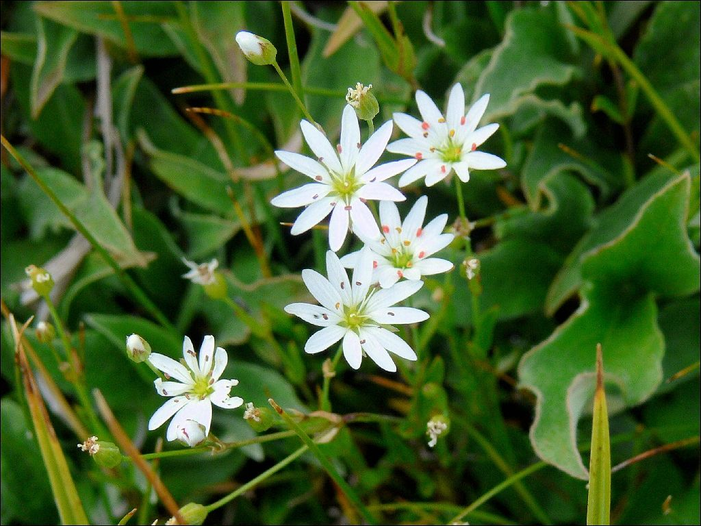 Meadow Starwort Meaning/Symbolism Afterthought