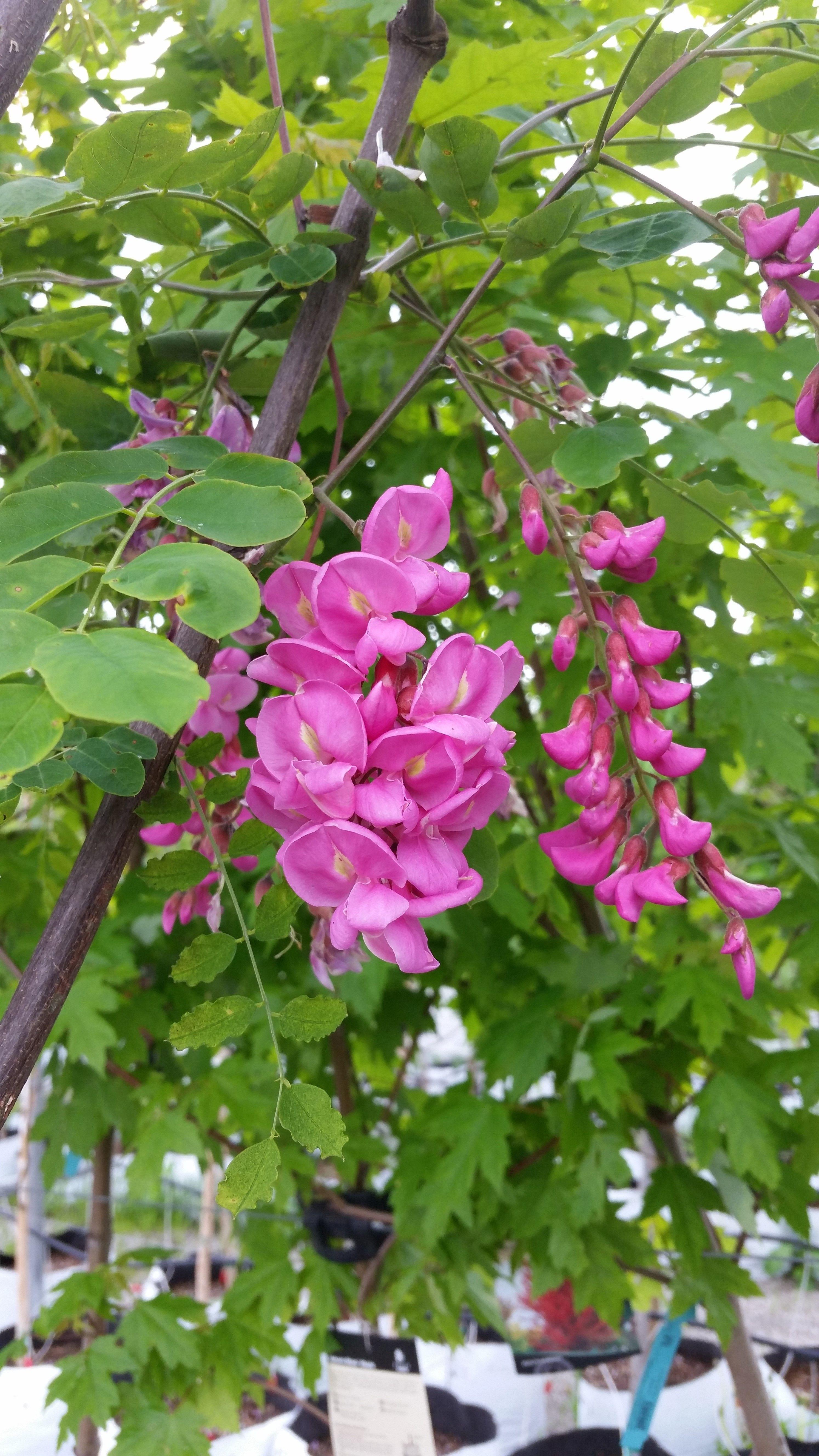 Black Locust Robinia Psuedoacacia Is A Tall Wonderful Native Tree It Can Be Found Growing In Ope Purple Flowering Tree Beautiful Flowers Fast Growing Trees