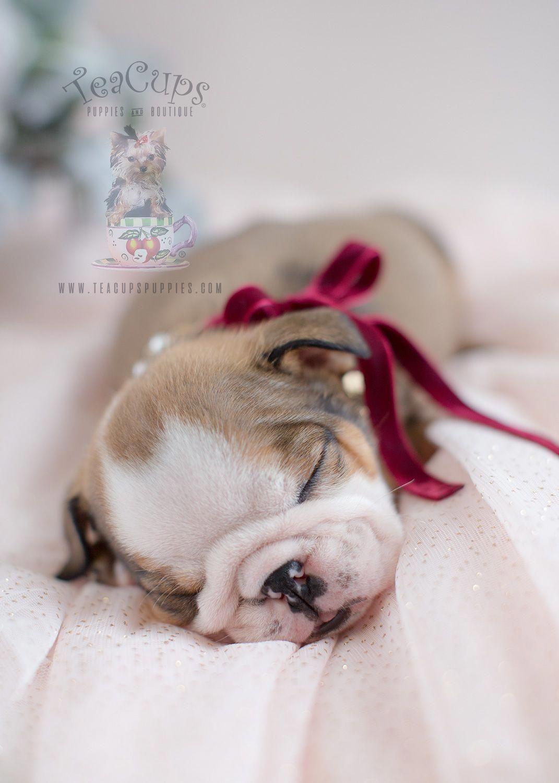 Gorgeous English Bulldog Puppy Bulldog Englishbulldog Puppy