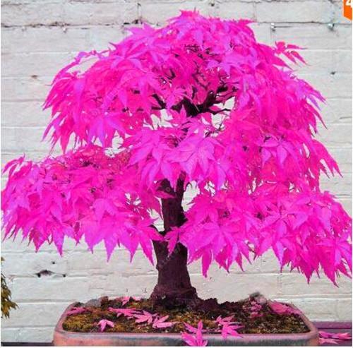 Japanese Maple Tree Seeds #japanesemaple