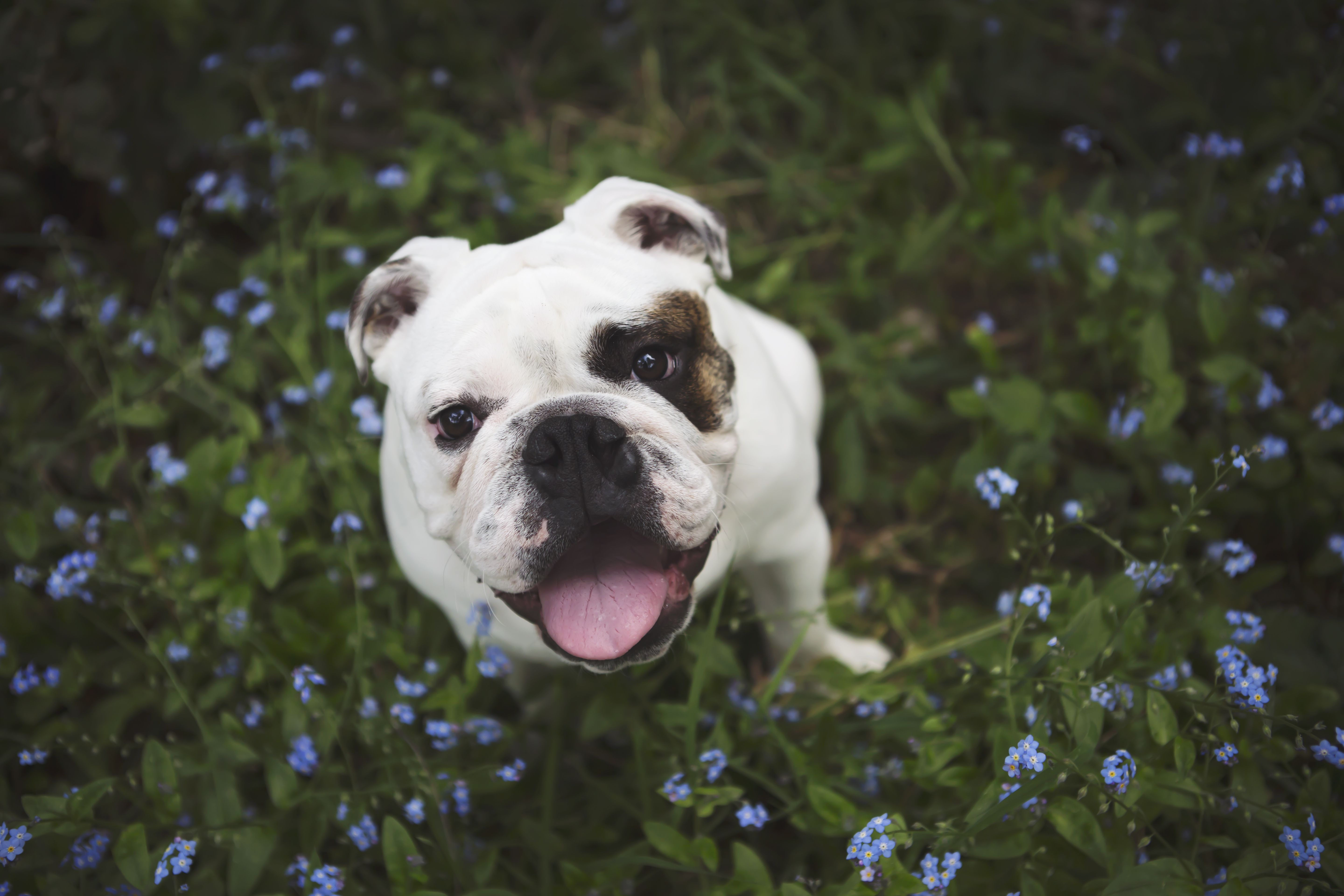 English Bulldog Photoshoot English Bulldog Puppies English Bulldog Dog Photoshoot