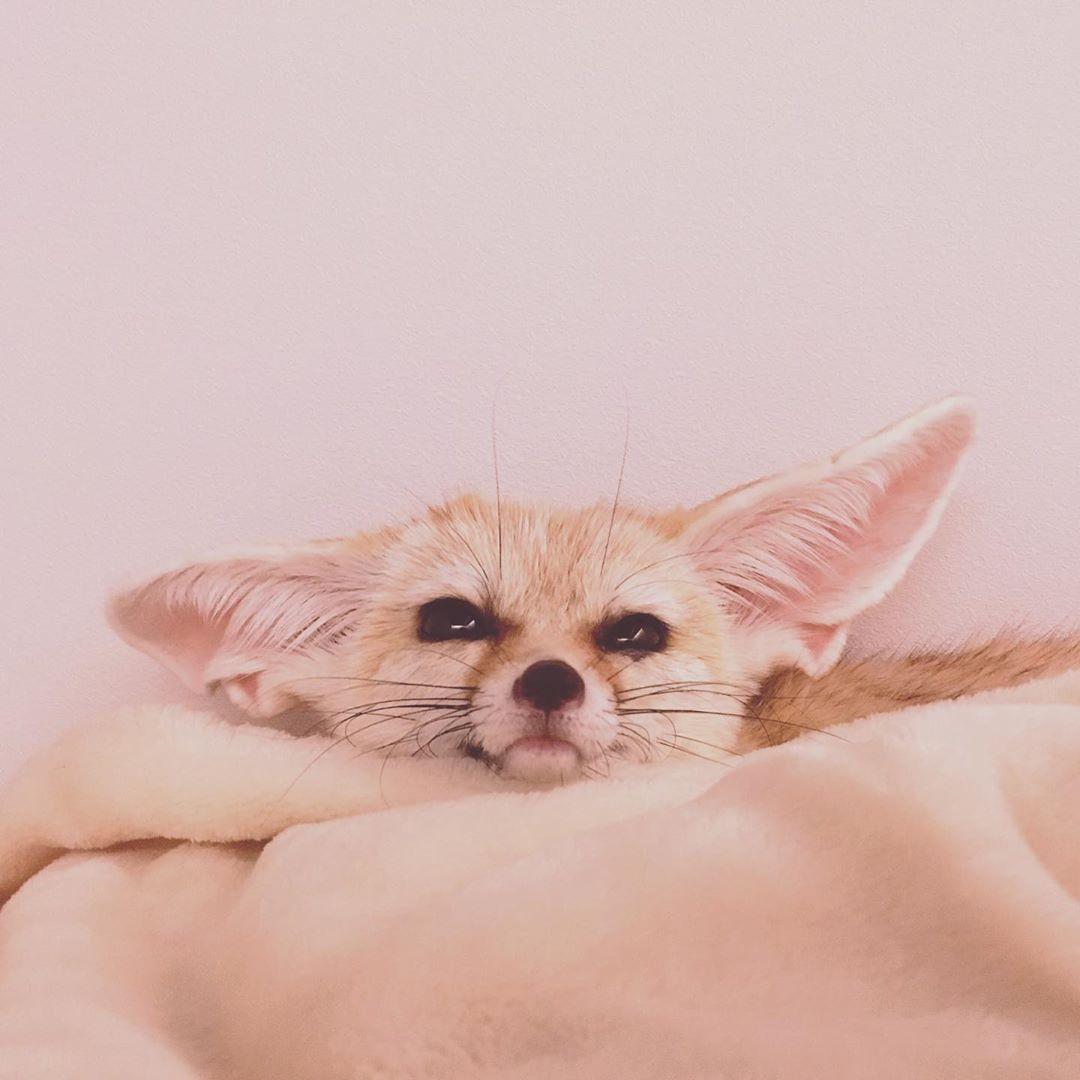 Everythingfox Tetsuo Everythingfox Everythingfox Everythingfox In 2020 Animals Fennec Fox Cute Animals