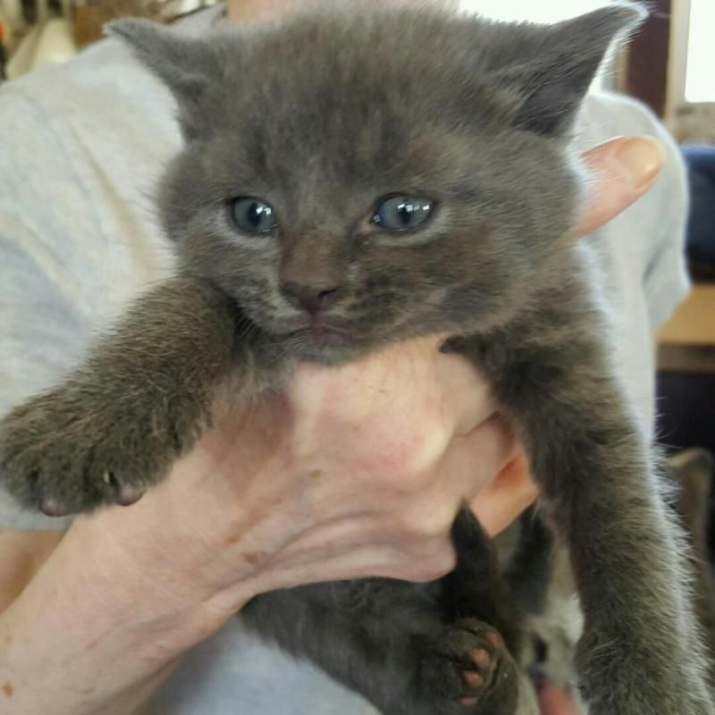 Adopt Blue Baby On Russian Blue Russian Blue Cat Cute Baby Animals