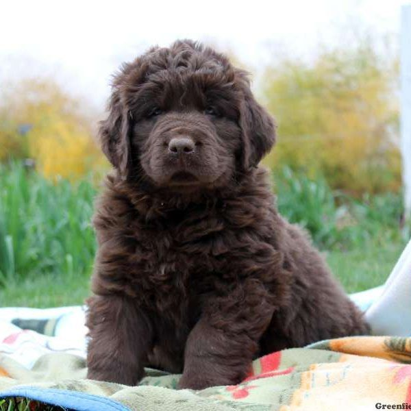 Newfoundland Puppies For Sale Newfie Puppies My Future Puppy