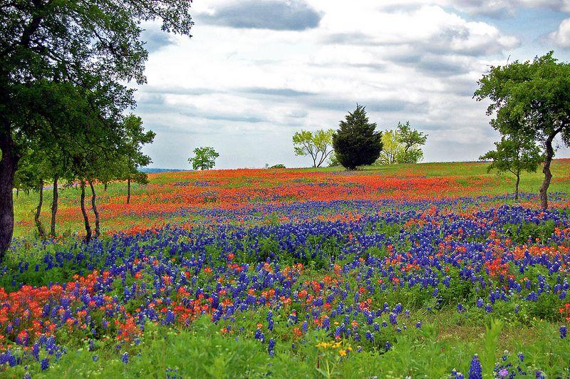 Ennis Texas Wildflowers