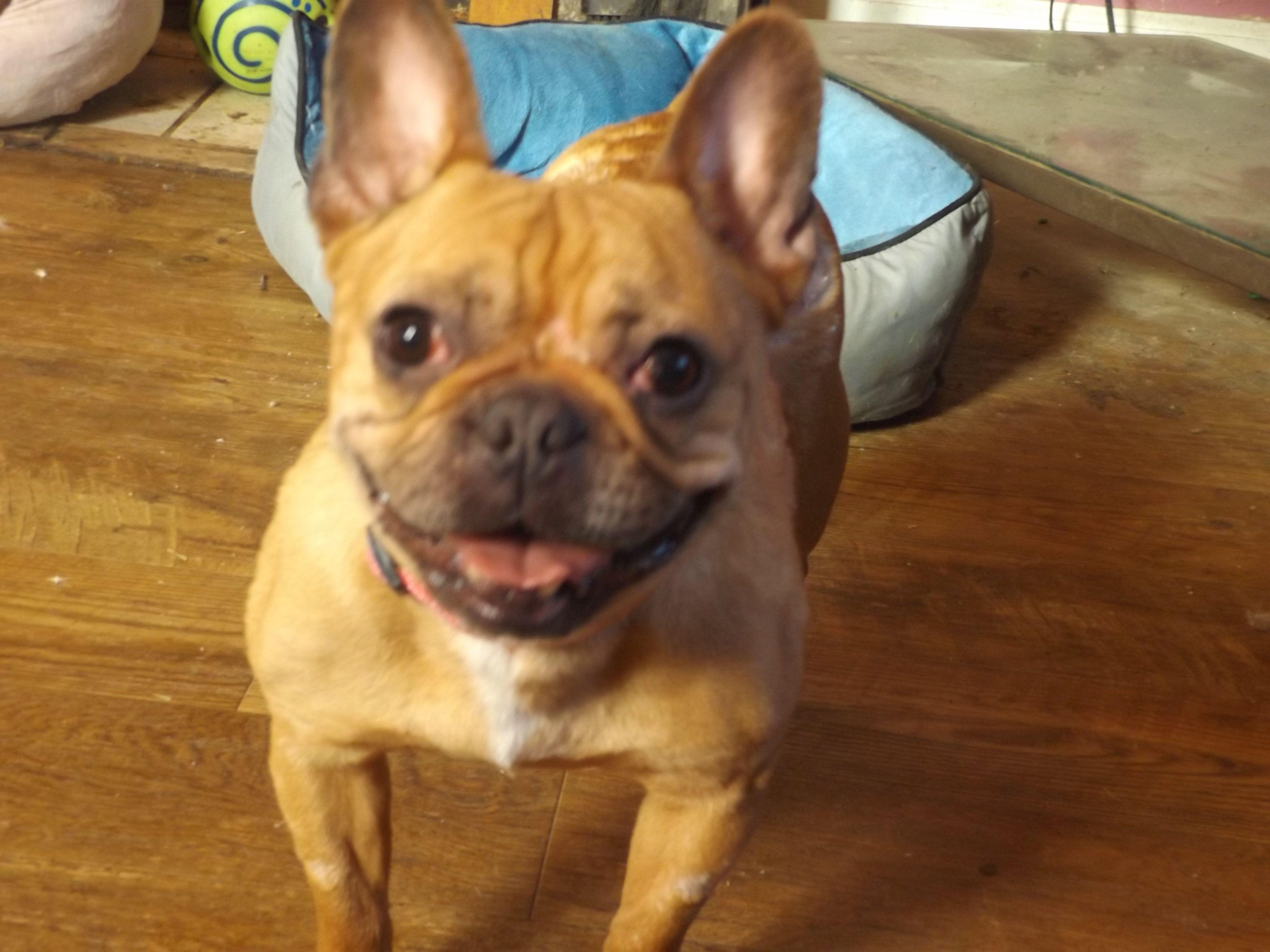 French Bulldog dog for Adoption in Zaleski, OH. ADN418941