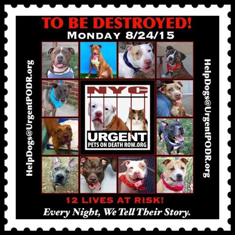 TO BE DESTROYED 08/24/15 -12 BEAUTIFUL LIVES AT NYC ACC~ Please share their story and be their voice. This is a VERY HIGH KILL facility, so time is critical. YOU may be their ONLY HOPE! -- - Click for info & Current Status: http://nycdogs.urgentpodr.org/to-be-destroyed-4915/